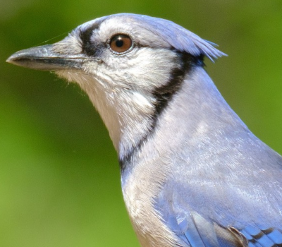 Picture of blue jay sitting.